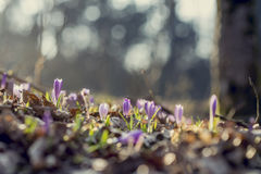 Crescimento de flores adiantado do açafrão da mola nas madeiras Imagem de Stock