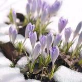 Crescimento de flores através da neve Imagens de Stock Royalty Free