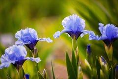 Crescimento de flores azul da íris no jardim Imagens de Stock Royalty Free