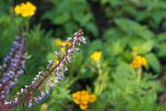 Crescimento de flores azul por muito tempo provindo perto de um grupo de flores amarelas em um parque tailandês Imagem de Stock Royalty Free