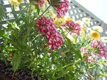 Crescimento de flores bonito do verbena do país na cesta Fotografia de Stock Royalty Free
