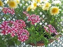 Crescimento de flores bonito do verbena do país na cesta Fotos de Stock Royalty Free