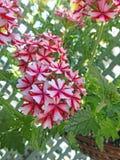 Crescimento de flores bonito do verbena do país na cesta Fotos de Stock