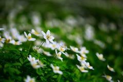 Crescimento de flores branco da anêmona no selvagem em uma floresta na mola Imagem de Stock