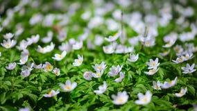 Crescimento de flores branco da anêmona no selvagem em uma floresta na mola Fotos de Stock