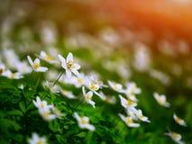 Crescimento de flores branco da anêmona no selvagem em uma floresta na mola Fotografia de Stock