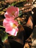 Crescimento de flores cor-de-rosa pequeno na barra de metal oxidada imagem de stock royalty free