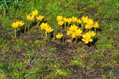 Crescimento de flores do açafrão Foto de Stock