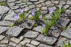 Crescimento de flores do açafrão Imagens de Stock