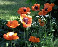 Crescimento de flores do ` s da papoila no jardim Foto de Stock Royalty Free