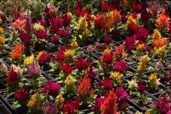 Crescimento de flores em pasta no berçário da planta Fotografia de Stock Royalty Free