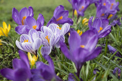 Crescimento de flores Multicoloured do açafrão na grama Fotos de Stock