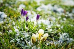 Crescimento de flores na neve Fotografia de Stock Royalty Free