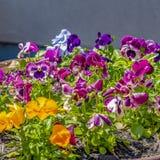 Crescimento de flores quadrado em um carrinho de mão oxidado velho e florescência sob a luz solar fotografia de stock royalty free