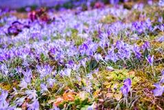 Crescimento de flores roxo do açafrão no canteiro de flores da mola Imagens de Stock Royalty Free