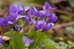 Crescimento de flores violeta na mola adiantada Fotos de Stock Royalty Free
