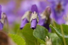 Crescimento de flores violeta selvagem na mola adiantada Imagem de Stock Royalty Free