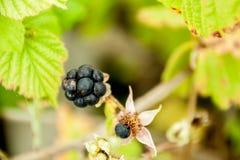 Crescimento de fruto de Forest Blackberry no ramo Imagens de Stock