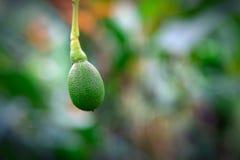 Crescimento de fruto do abacate em uma árvore na ilha de Oahu foto de stock royalty free