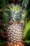 Crescimento de fruto tropical do abacaxi em uma natureza Exploração agrícola da plantação dos abacaxis Foto de Stock