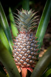 Crescimento de fruto tropical do abacaxi em uma natureza Exploração agrícola da plantação dos abacaxis Imagens de Stock