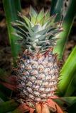 Crescimento de fruto tropical do abacaxi em uma natureza Plantat dos abacaxis Fotografia de Stock Royalty Free