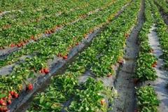 Crescimento de frutos da morango fotografia de stock