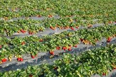 Crescimento de frutos da morango foto de stock