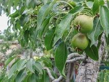Crescimento de frutos de amadurecimento da pera em um ramo de árvore da pera Imagens de Stock