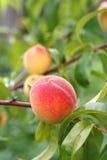 Crescimento de frutos do pêssego no ramo de árvore do pêssego Foto de Stock