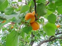 Crescimento de frutos doce maduro do abricó em um ramo de árvore do abricó Imagens de Stock