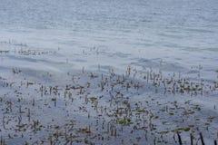 Crescimento de Hydrilla na água do lago imagem de stock