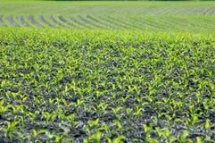 Crescimento de milho Imagem de Stock