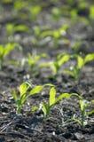Crescimento de milho Fotos de Stock Royalty Free