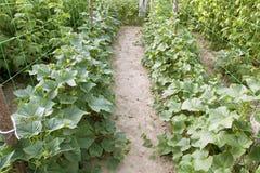 Crescimento de pepinos verdes Foto de Stock