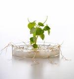 Crescimento de planta Fotografia de Stock