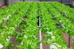 Crescimento de vegetais do bebê nas estufas fotografia de stock