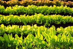 Crescimento de vegetais hidropônico na estufa Fotografia de Stock Royalty Free
