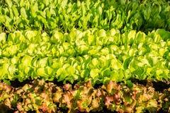 Crescimento de vegetais hidropônico na estufa Imagens de Stock