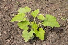 Crescimento de vegetais no jardim Fotografia de Stock Royalty Free