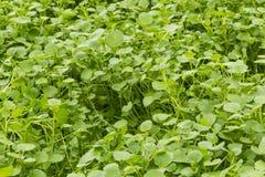 Crescimento do agrião Fotos de Stock