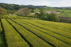 Crescimento do chá Imagem de Stock
