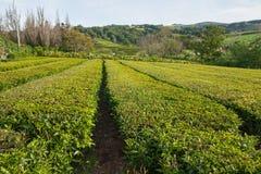 Crescimento do chá Imagens de Stock