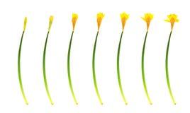 Crescimento do daffodil da mola Fotografia de Stock