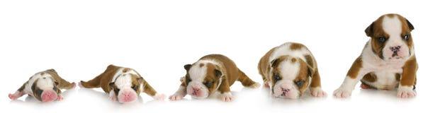 Crescimento do filhote de cachorro Fotos de Stock Royalty Free