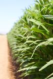 Crescimento do milho Imagem de Stock Royalty Free