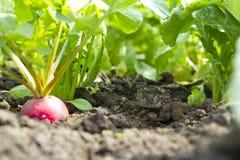 Crescimento do rabanete Foto de Stock Royalty Free