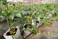 Crescimento do tomate Fotos de Stock Royalty Free