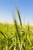 Crescimento do trigo Foto de Stock Royalty Free