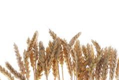 Crescimento do trigo Fotografia de Stock Royalty Free